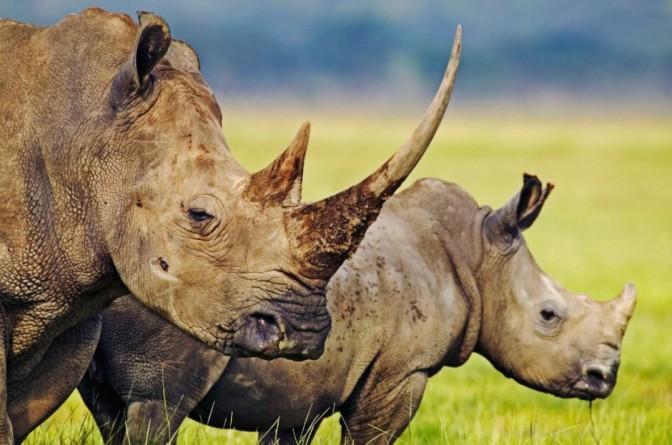 Ciudadanos chinos son arrestados por contrabando de cuerno de rinoceronte