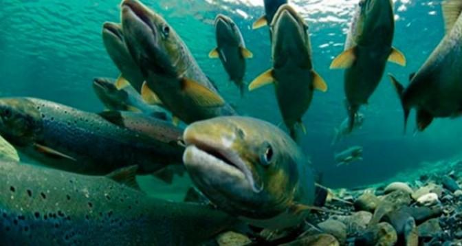 El salmón, un producto apreciado por los gourmets pero no por los bolsillos