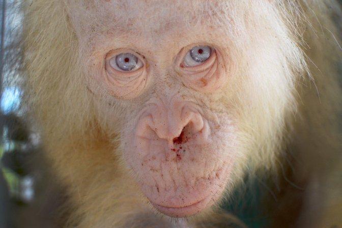 Una orangutana albina de ojos azules es rescatada en Borneo