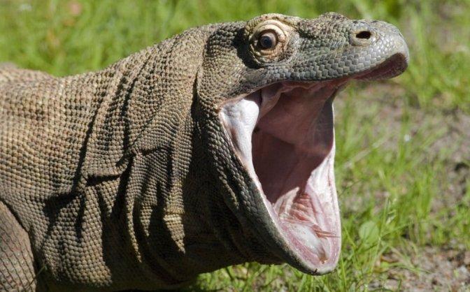El cambio climático puede amenazar a los reptiles al reducir su flora bacteriana