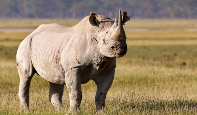 El último rinoceronte blanco recurre a Tinder para salvar la especie