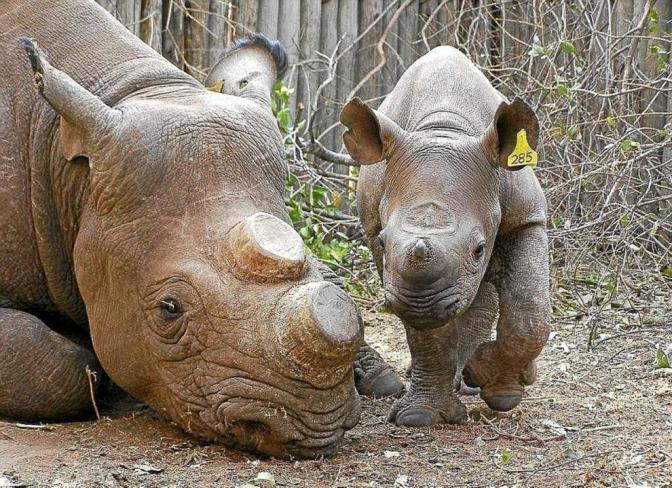 Pocos compradores en primera subasta de cuerno de rinoceronte en Sudáfrica
